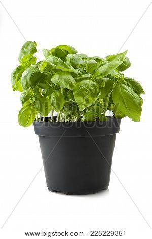 Fresh leaves of basil close up on white