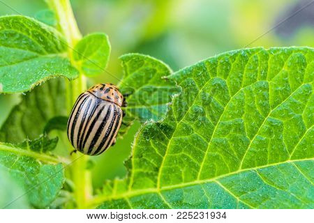 Colorado potato beetle eats green potato leaves. Garden insect pest. Vegetable stubs. Natural gardening background with selective focus.