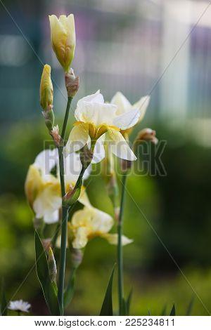 Flowering White Bearded Iris In A Garden. White-irises