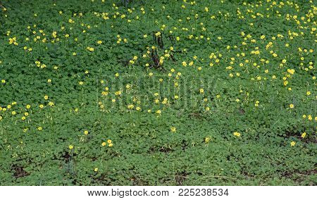 Nature Background With Field Of Beautiful Clover Batch Yellow Flowers  And Green Leaves