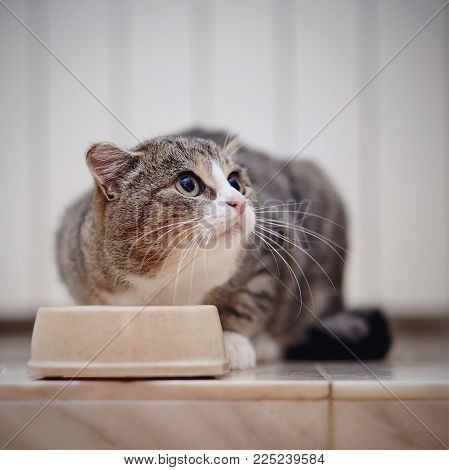 The gray striped frightened domestic cat eats from a bowl.