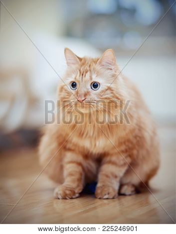 The striped red domestic cat sits on a floor.