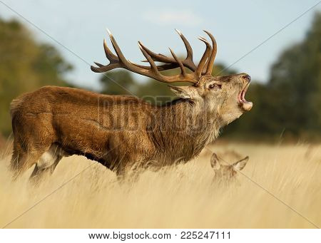 Red deer stag roaring near a hind during the rut, autumn in UK.