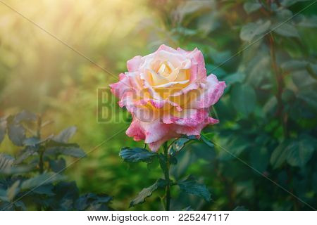 Bright pink blooming flower with unopened button. Gorgeous Ros