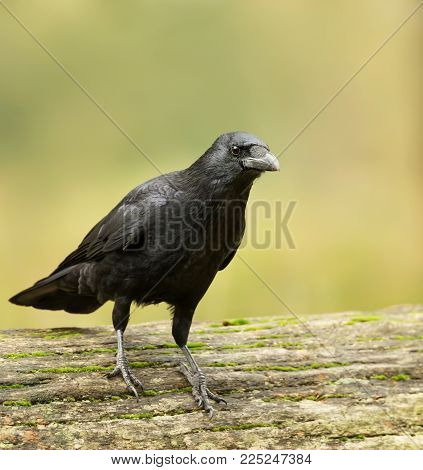 Portrait of Carrion crow standing on the fallen tree, UK.