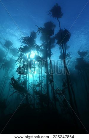 Silhouette Giant Kelp Forest (macrocystis Pyrifera) Grows Off The Coast Of South Africa ,is Habitat