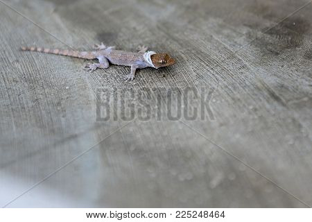 House Lizard In The Process Of Molting Off The Old Skin On A Cement Floor Background.tropical Forest