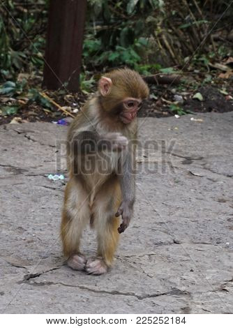 Young monkey standing straight on two legs