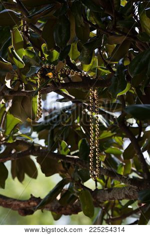 A necklace of gold beads dangles in a tree after a Mardi Gras celebration.