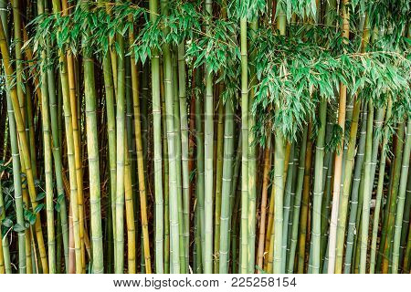 Green Bamboo forest in garden. Bamboo background