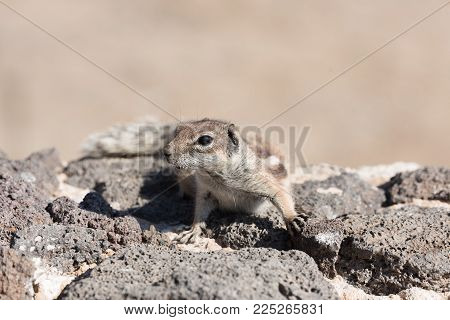 View on a ground squirrel with blurred background, funny animal with interesting posing