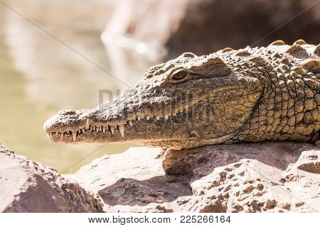 View on a lazy crocodile lying on the ground - head view
