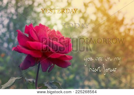 Red rose flower on card background for Valentines Day with words Yesterday Today Tomorrow you are in my heart forever