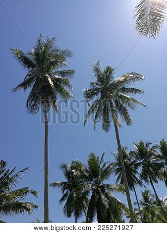 Tropical coconut treees