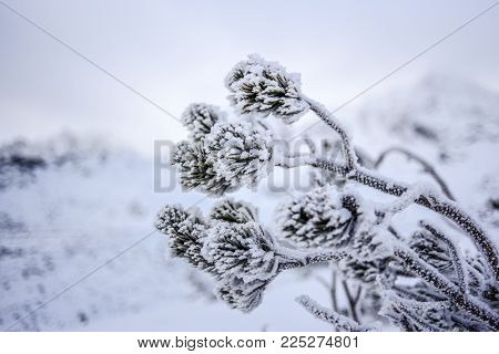 Mountain pine covered with snow, winter in Tatra Moutains, Poland.