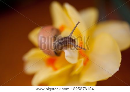 a small adorable snail wandering around yellow daffodils