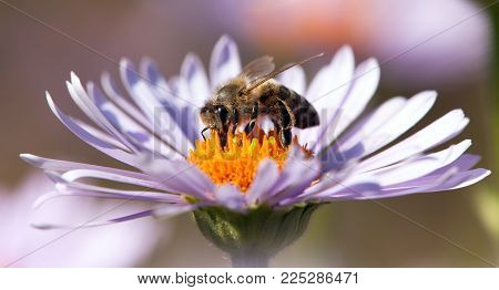 detail of honeybee in Latin Apis Mellifera, european or western honey bee sitting on the violet or blue flower