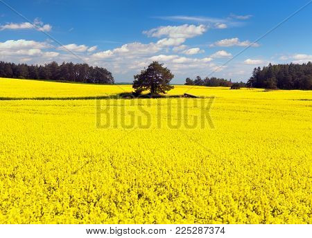 golden field of flowering rapeseed, canola or colza, brassica napus, plant for green energy and oil industry, golden flowering rape seed field