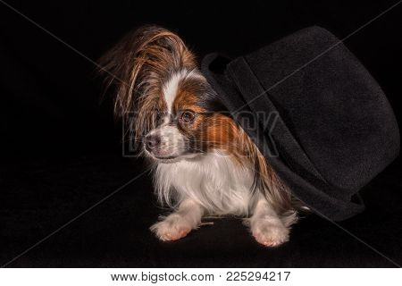 Beautiful dog Continental Toy Spaniel Papillon in a felt hat on a black background