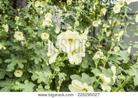 Flowers mallow. Flowering mallow on the flowerbed