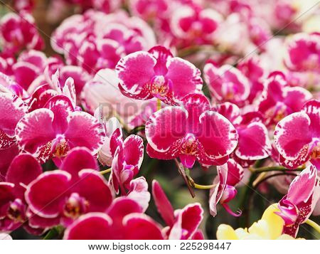 Close Up Beautiful Pink Phalaenopsis Orchid With Spotted Blooming Flower On Branch At Farm. Spa And
