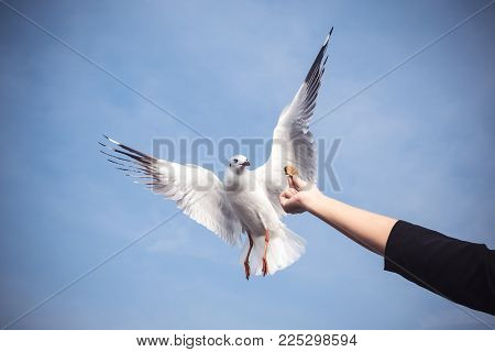 Closeup image of a person rising hand to feeding a beautiful feather seagull with blue sky background