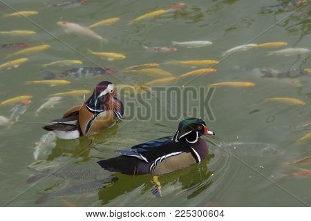 The Mandarin Duck (aix Galericulata) Is A Perching Duck Species Found In East Asia