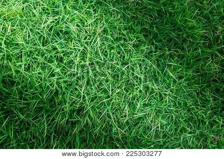 Grass texture or grass background. green grass for golf course, soccer field or sports background concept design. Natural green grass.