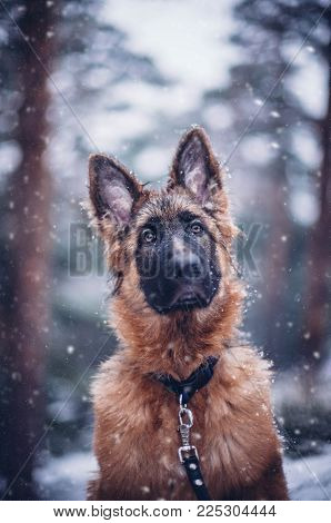 German shepherd dog poses in the snow.