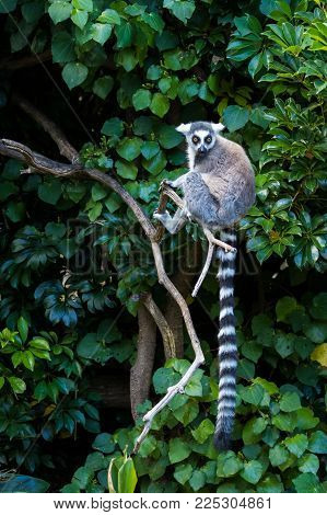 Ring-tailed lemur is sitting on a tree branch show off it's long tail.