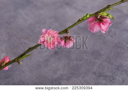 Pink cherry flowers on a gray background .