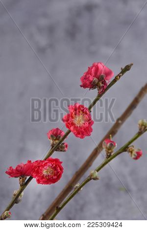 Red cherry flowers with bud on a gray background .