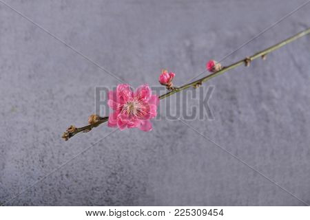 Blooming tree in spring isolated on gray background