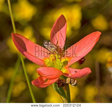 Red Wildflower with Yellow Stamen and Mirid Bug collecting Pollen