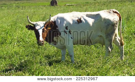 Cows graze on a green pasture on a summer day. Herd cows on a summer pasture.