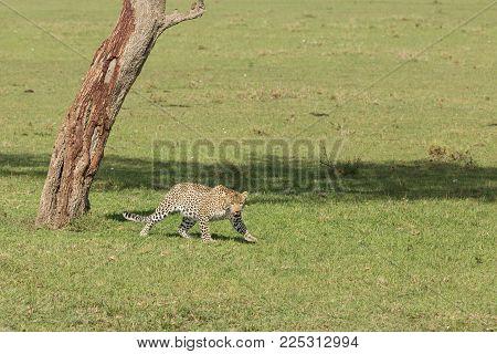 A Leopard Crosses The Grasslands Of The Maasai Mara, Kenya