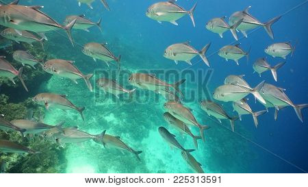 Schooling Jack fish, Caranx sexfasciatus. Tropical fish on a coral reef. Wonderful and beautiful underwater world with corals and tropical fish. Hard and soft corals. Diving and snorkeling in the tropical sea. Philippines.
