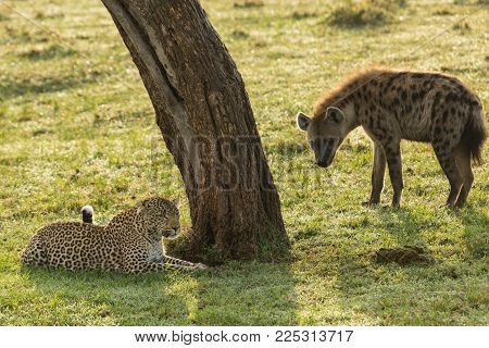 a hyena and leopard face off under a tree on the grasslands of the Maasai Mara, Kenya