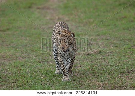 leopard walking on the grasslands of the Maasai Mara, Kenya
