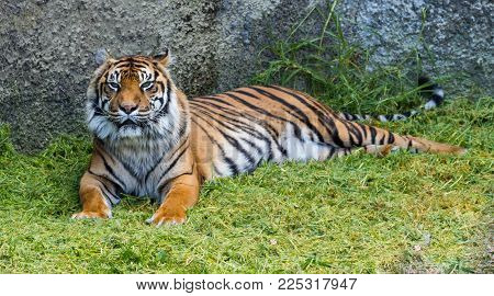 Sumatran tiger also known as Panthera tigris sumatrae trying to smile.