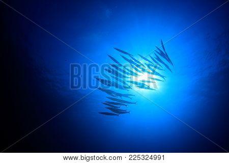 School Bigeye Barracuda fish blue background and sun