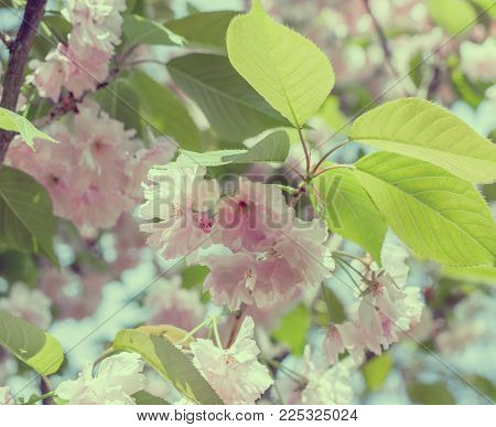 Blossoming branches of Japanese cherry. Beautiful pink flowers background. Vintage toned photo