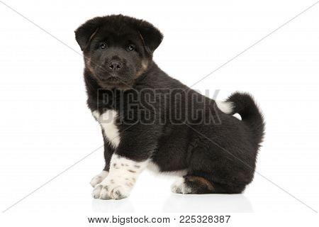 American Akita Dog Puppy Sits