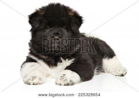 American Akita Puppy Lying Down