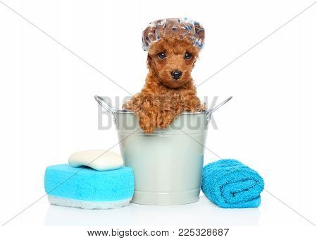 Red Toy Poodle Puppy With Bathing Cap