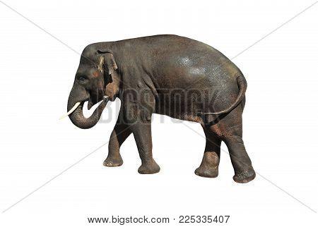 Grey asiatic elephant, isolated on white background