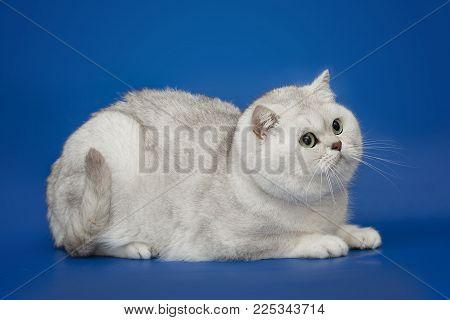 White fluffy beautiful British cat with green eyes on studio blue background. British shorthair chinchilla cat.