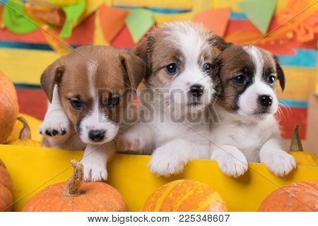 Jack Russell Terrier litter of puppies