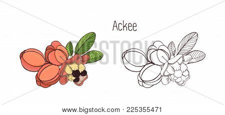 Colored and monochrome drawings of whole and split ackee with leaves. Delicious ripe edible exotic fruits of tropical plant hand drawn in elegant style. Botanical vector illustration