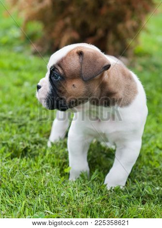 Funny nice red white American Bulldog puppy profile on nature. Puppy's acquaintance with nature